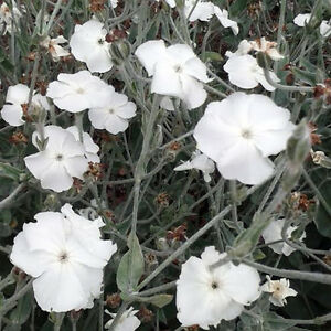 WHITE-ROSE-CAMPION-LYCHNIS-CORONARIA-ALBA-300-SEEDS-EASY-PERENNIAL