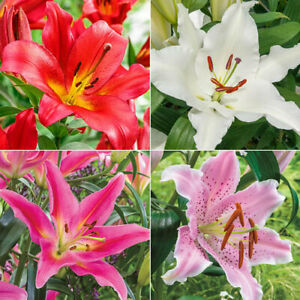100pcs Mixed Lily Holland Perfume Lilies Rare Outdoor Indoor