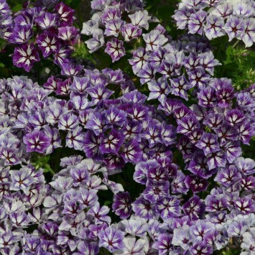FRAGRANT 30+ PHLOX SUGAR STARS FLOWER SEEDS EASY TO GROW PERENNIAL