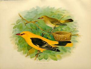 1907 Antico Uccello Stampa ~ Golden Oriole