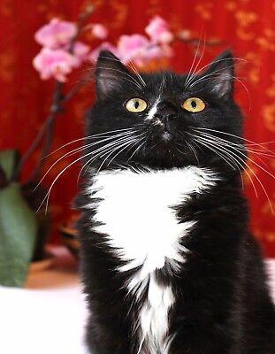 METAL FRIDGE MAGNET Black Tuxedo Cat Yellow Eyes Facing Camera Black White Cats