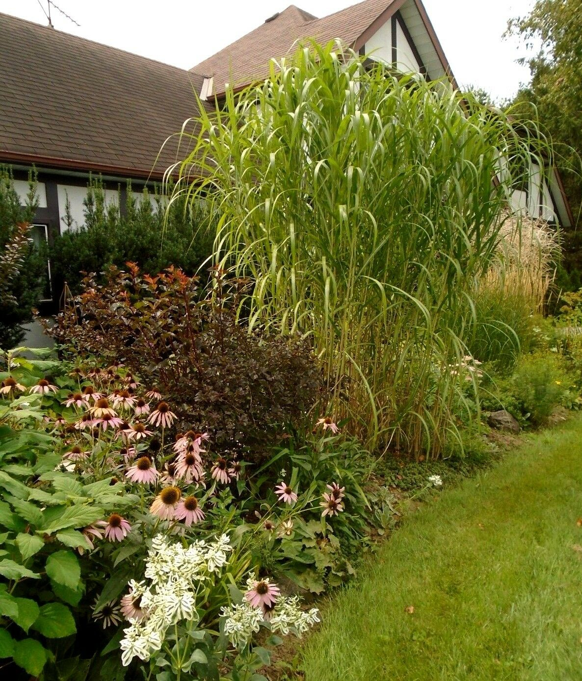 Giant Japanese Silver Maiden Grass Miscanthus Floridulus Huge