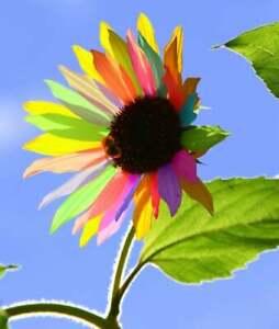 USA SELLER 50 Rainbow Sunflower Seeds Plants Garden Planting 50 Pack