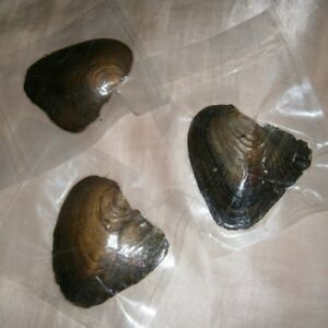 Natural-Real-Pearl-In-Oyster-Vacuum-Sealed-Brand-New