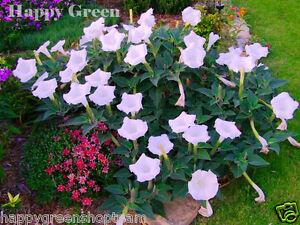 Devils trumpet 50 seeds white datura metel annual flower ebay image is loading devil 039 s trumpet 50 seeds white datura mightylinksfo