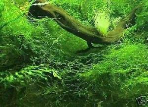 Immergrünes Moos Für Terrarien & Aquarien Hell Und Durchscheinend Im Aussehen Bewächst Steine Javamoos Gelernt Deko