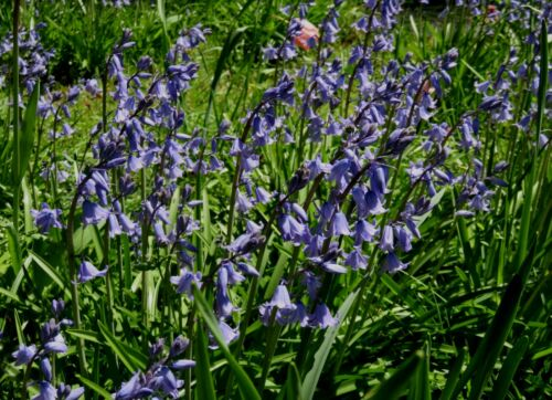 Wildflowers 792 Common Bluebell 20 Large Piece Jigsaw Puzzle Canadian Nature