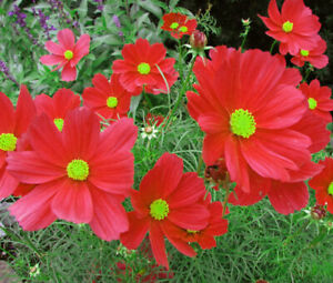Mixed Cosmos Annual Flower 50 Seeds USA Seller