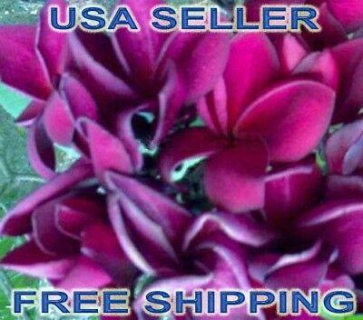 "100 Rare Hot /""TAHITIAN RED /"" Plumeria//Frangapani Seeds USA Seller FREE Shipping"