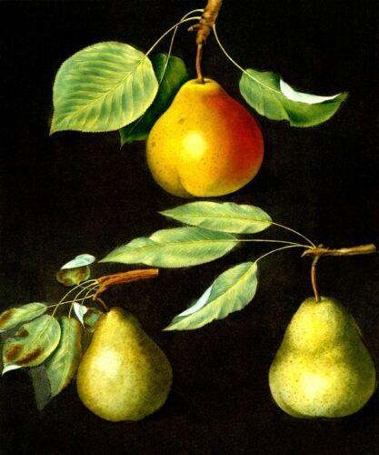 MARTIAL PEAR FRUIT PRINT BY GEORGE BROOKSHAW REPRO PEARS CADILLAC PADDINGTON ST