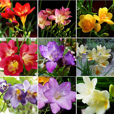 100 X Freesia Bulbs Old Fashion Perfume Flower Seeds Garden Plant