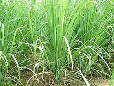Lemongrass Citronela ( Hierba Limon ) cymbopogon flexuosus 200 semillas  seeds