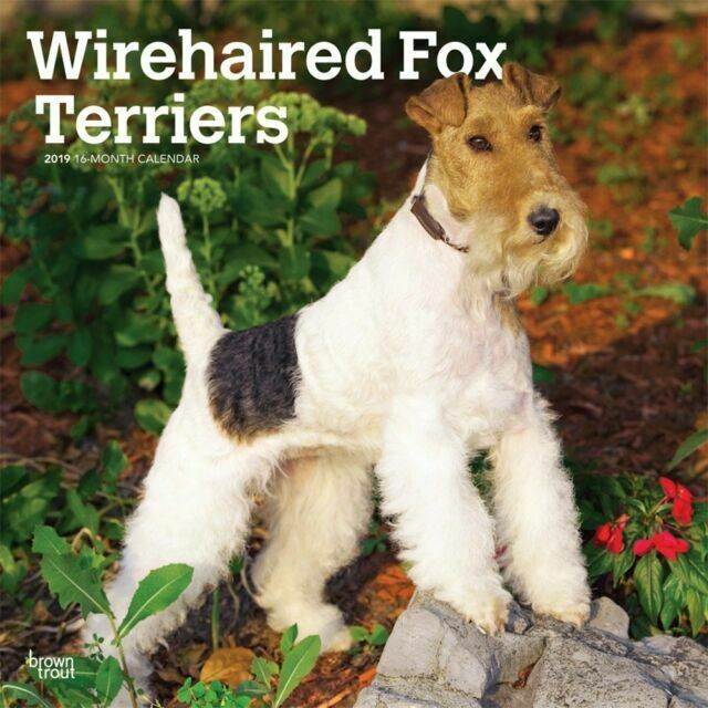 Wirehaired Fox Terriers 2019 Square