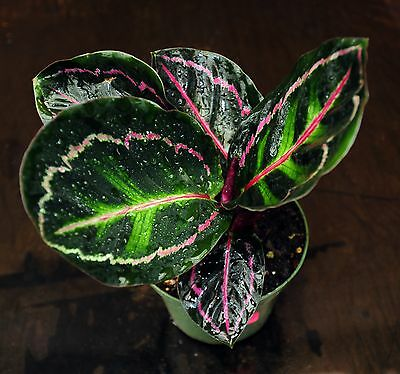 Calathea other prayer plants collection on ebay for Praying angel plant