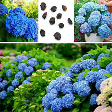 10pcs Rare Blue Hydrangea Flower Seeds Easy To Plant Potted Ideal Garden Present