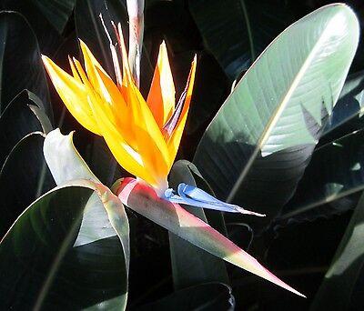 8 Samen Paradiesvogelblume (Strelitzia reginae), Strelitzie, pflegeleicht, Exot