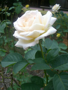 Live white rose plant white rose grafted flower plant ebay image is loading live white rose plant white rose grafted flower mightylinksfo