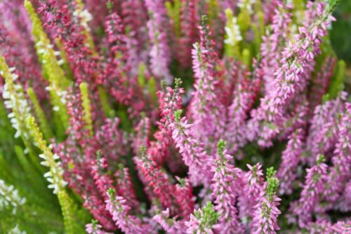 Calluna Vulgaris Heather Evergreen Perennial 200 Seeds groundcover