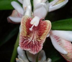 4-Live-Roots-034-Organic-034-Spicy-Thai-Ginger-Root-Rhizome-Alpinia-Galanga