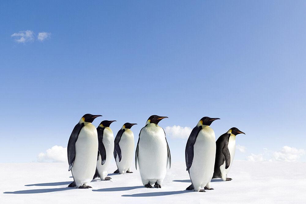 Fototapete Pinguine Antarktis Tiere - Kleistertapete oder Selbstklebende Tapete