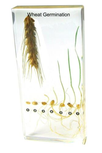 Sorghum wheat Paddy Rice Germination  embedded Resin specimen paperweight
