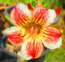 Adenium Obesum / Desert Rose - CX Light - Perennial Bonsai Seeds (5)