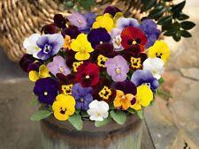 HORNED PANSY - LARGE FLOWER MIX - Viola cornuta - 300 SEEDS