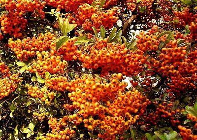Geschenkidee für den Garten anspruchslose Heckenpflanzen Feuerdorn 100 Samen