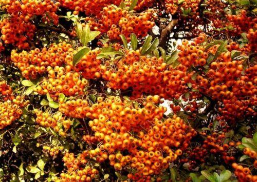 jetzt einpflanzen 100 Samen mehr Beeren als Blätter Feuerdorn Immergrün
