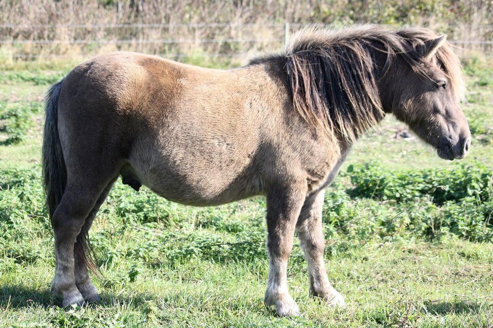 Shetlandspony, vallak, 3 år