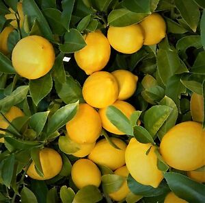 Image Is Loading Live Plants Lemon Trees 3 034 6