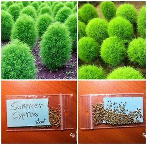 100 Kochia scoparia Seeds Burning Bush Seed Kochia Summer Cypress