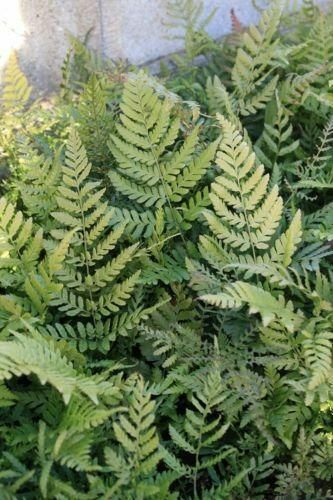 Dryopteris erythrosora Prolifica Copper Shield Fern 9cm Pot Please Read Descript