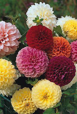 Flower - Dahlia - Pompon Double Mixed - 50 Seeds