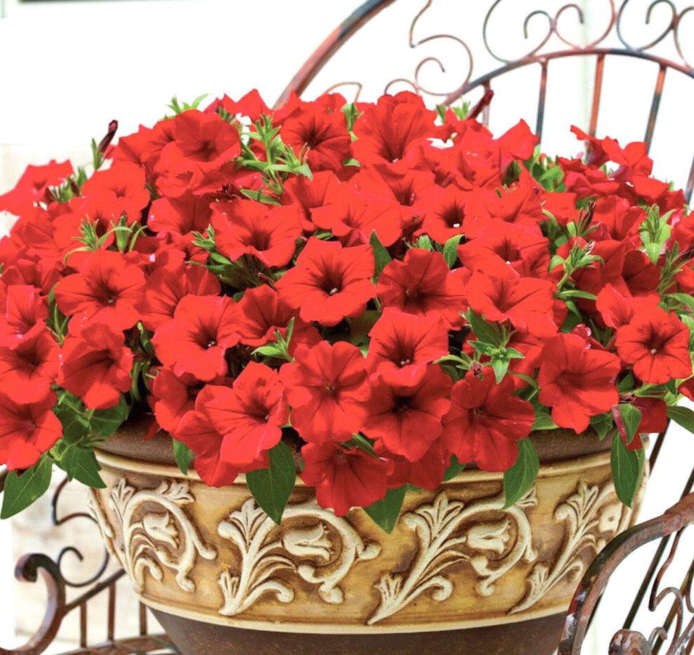 250 x PETUNIA Red Seeds F1. NON GMO