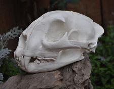 Replica Mountain Lion Skull - Hand Made Taxidermy Bone Skeleton