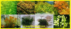 Plantas-de-acuario-Super-lote-gambario-8-tipos-A-Cultivo-sumergido