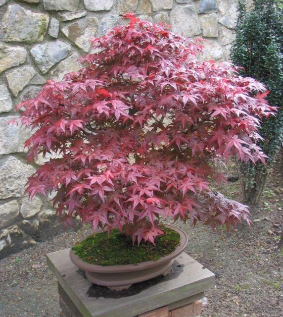 Red Japanese Maple Tree Seeds - Acer palmatum Atropurpureum - 25,50,100 seeds