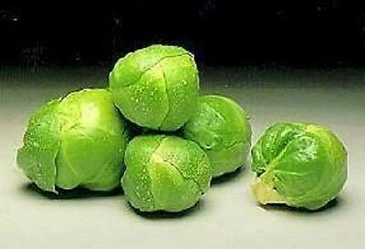 1000 LONG ISLAND BRUSSEL SPROUT Vegetable Seeds + Gift