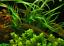 thumbnail 5 - x3 Cryptocoryne Balansae Bunch Crypt Spiralis Freshwater Live Aquarium Plants