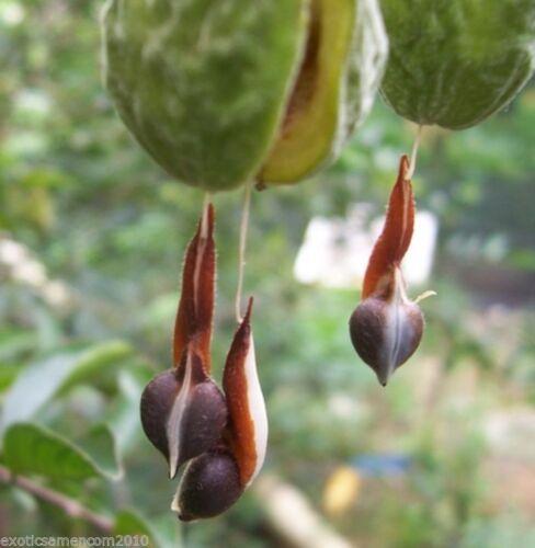 Adlerholz Agarwood Aquilaria malaccensis Absolute Rarität 100 Samen