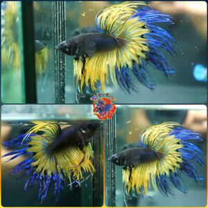 Live Betta Fish Male HUGH Blue Spiked Yellow Devil Crowntail #B807