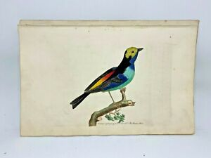 Paradise-Tanager-1783-RARE-SHAW-amp-NODDER-Hand-Colored-Copper-Engraving