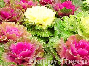 Ornamental-Cabbage-MIX-170-SEEDS-Brassica-Oleracea-ANNUAL