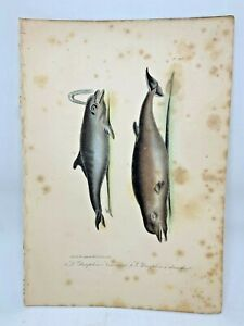 Original-Antique-Lacepede-1832-Hand-Colored-Plate-20-Dolphins