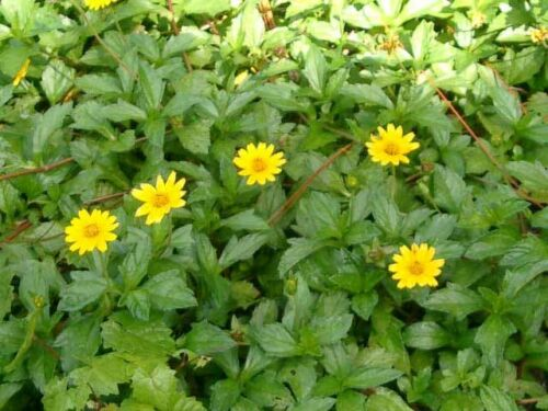 Live Plants Why Wait For Seeds Creeping Daisy 10//20//40 Qty. Wedelia Trilobata