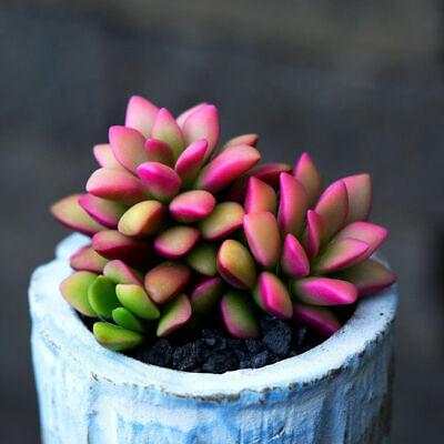 5 *RARE* Sunrise Variegata Succulent Plant Petals Anacampseros Telephiastrum