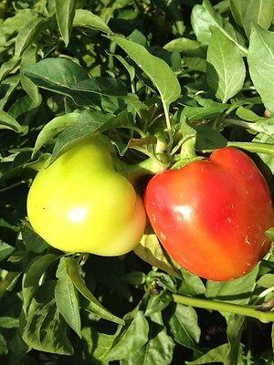 Wiener Calvill süße und saftige Paprika, Form wie Kalvill-Äpfel Apfelpaprika