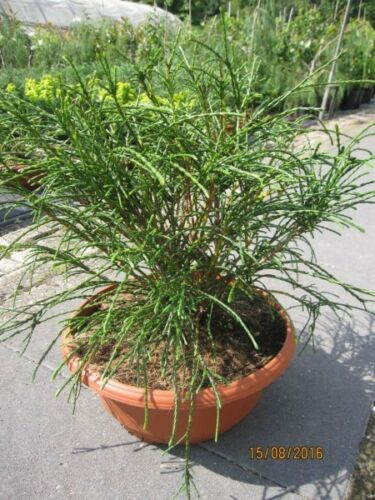 Thuja plicata Whipcord Faden-Lebensbaum Whipcord