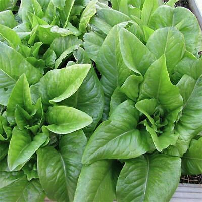 Semillas Batavia Lettuce 25+ seeds Blonde de Paris Graines
